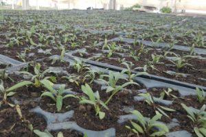 cresterea-plantelor-goji (1)