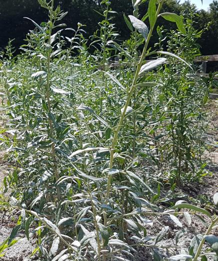ingrijire-arbusti-goji